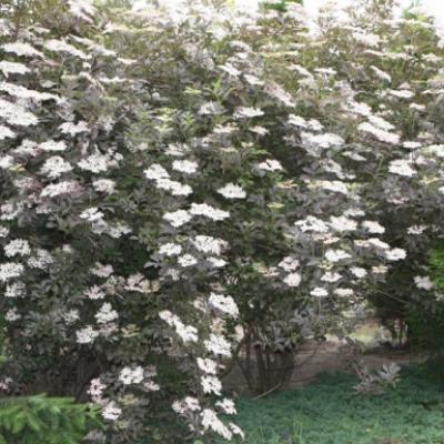 Бузина чёрная «Пурпурея» («Гуинчо Пепл») (Sambucus nigra Purpurea «Guincho Purple»).