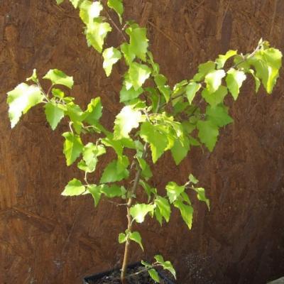 Береза повислая, бородавчатая, плакучая «Шневердингер Голдберг» Betula pendula («Schneverdinger Goldbirke»)