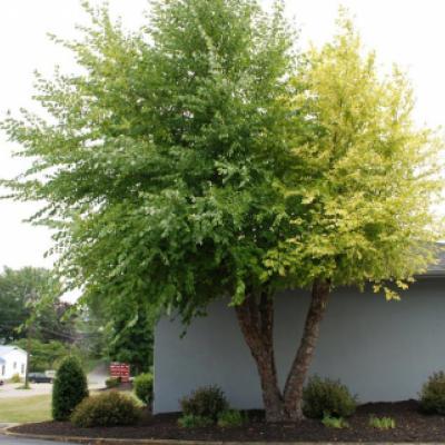 Береза черная (Betula nigra)