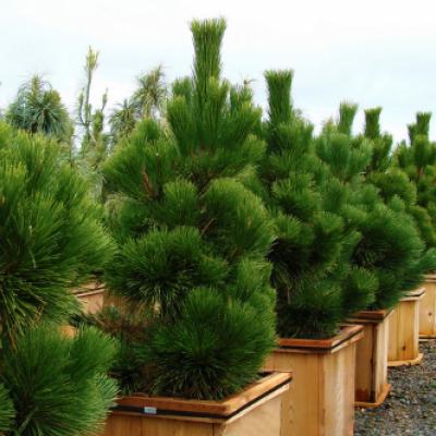 Сосна Тунберга «Тандерхед» (Pinus thunbergii «Thunderhead»)