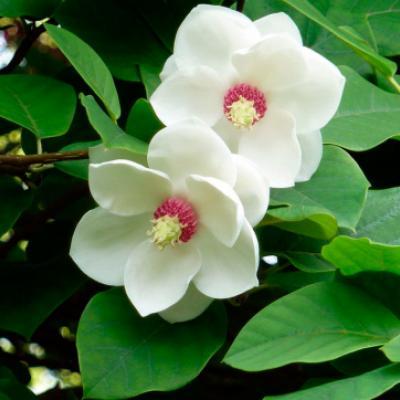 Магнолия Зибольда (Magnolia sieboldii)