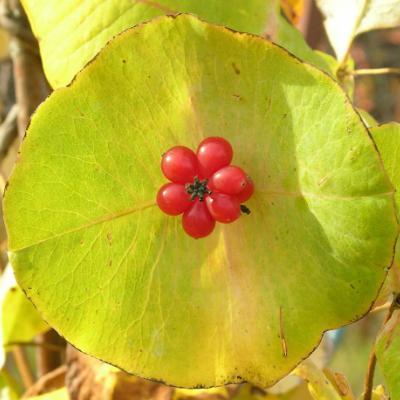 Жимолость сизая ( Lonicera dioica ).