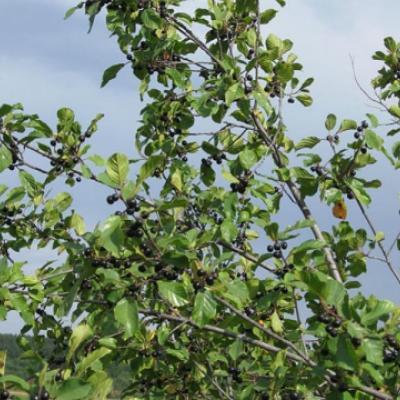 Крушина ольховидная, ломкая (Frangula alnus)