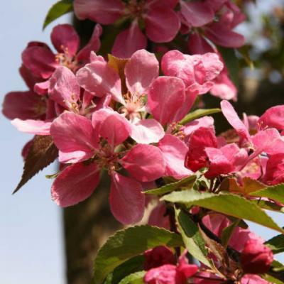 Яблоня «Хопа» (Malus «Hopa»).