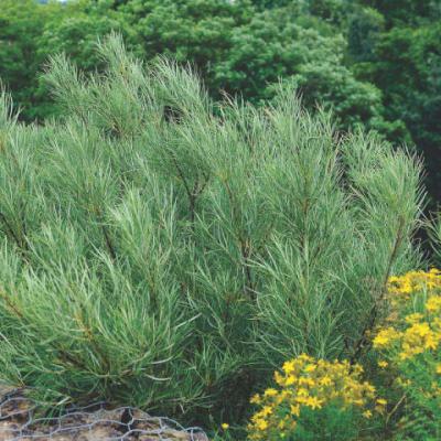 Ива лоховидная, узколистная «Ангустифолия» (Salix elaeagnos «Angustifolia»)