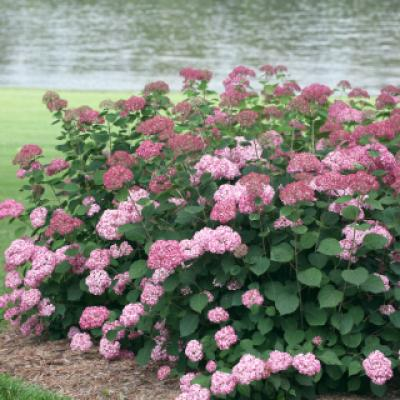 Гортензия древовидная «Пинк Перкушн» (Hydrangea arborescens «Pink Percusion»)