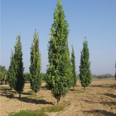 Дуб черешчатый «Фастигиата» (Quercus robur «Fastigiata»)