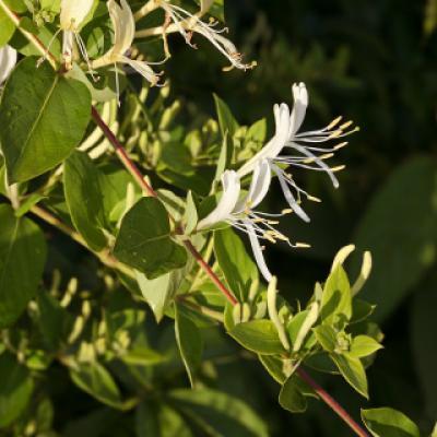 Жимолость японская (Lonicera japonica).