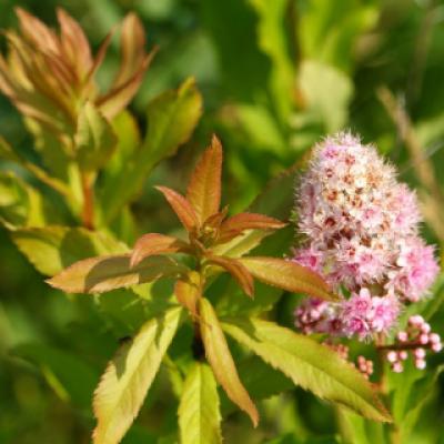 Спирея иволистная (Spiraea salicifolia).