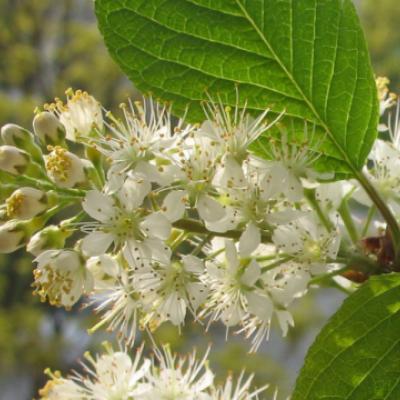 Черемуха Маака (Prunus maackii = Padus maackii)