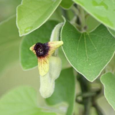 Кирказон пушистый (лат. Aristolochia tomentosa).