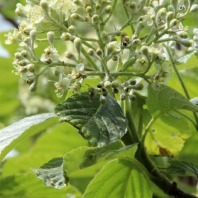Рябина ария, мучнистая, круглолистная «Магнифика» (Sorbus aria «Magnifica»)