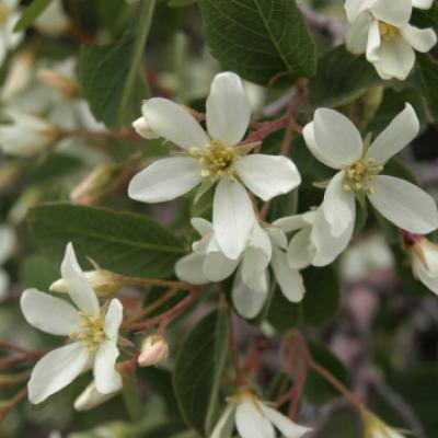 Ирга круглолистная, обыкновенная (Amelanchier ovalis = A. rotundifolia).