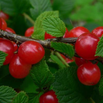 Вишня войлочная (Prunus tomentosa).