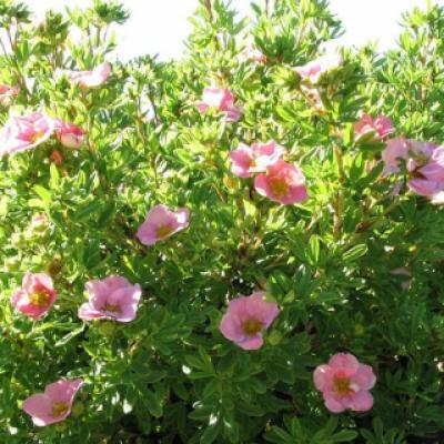 Лапчатка кустарниковая, курильский чай кустарниковый «Ловле Пинкс» = «Пинк Бьюти» (Potentilla fruticosa «Lovely Pink» = «Pink Beauty»).