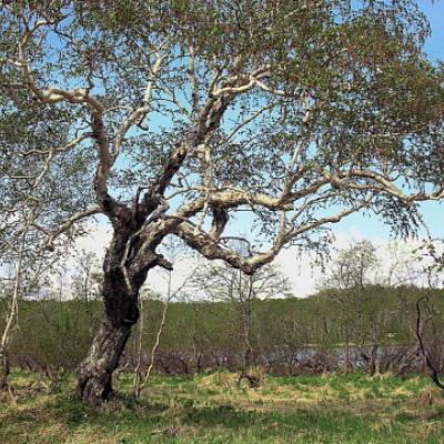 Береза Эрмана, каменная (Betula ermanii)