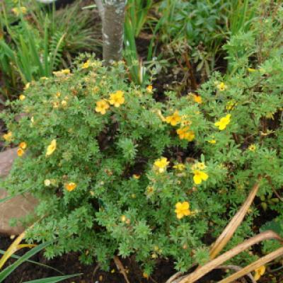 Лапчатка кустарниковая, курильский чай кустарниковый «Анетт» (Potentilla fruticosa «Annette»).