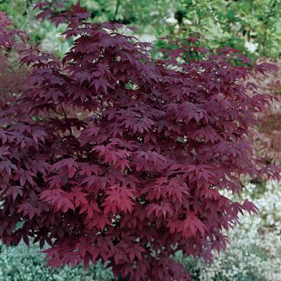 Клен веерный, дланевидный «Атропурпуреум» (Acer palmatum «Atropurpureum»)
