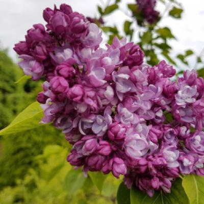 Сирень гиацинтоцветная «Олимпиада Колесникова» (Syringa × hyacinthiflora « Olimpiada Kolesnikova» DIV (Колесников, 1941).