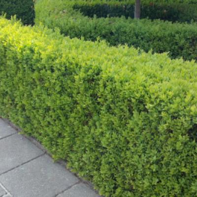 Самшит вечнозеленый (Buxus sempervirens).