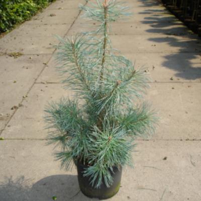 Сосна обыкновенная «Глаука» (Pinus sylvestris «Glauca»)
