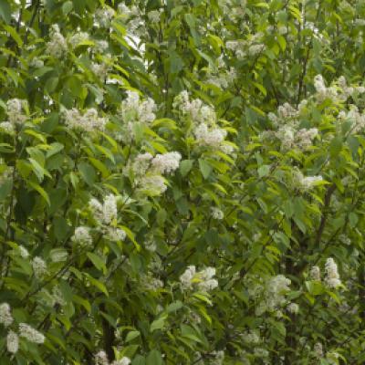 Черемуха Маака «Амбер Бьюти» (Prunus maackii «Amber Beauty»)