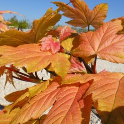 Клен ложноплатановый, явор, белый клен «Брилиантиссиум» (Acer pseudoplatanus «Brilliantissimum»).