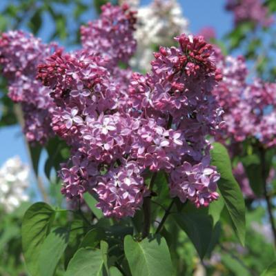 Сирень гиацинтоцветная «Эстер Стейли» (Syringa × hyacinthiflora Esther Staley SVI) (Clarke, 1948).