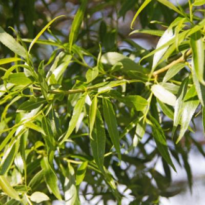 Ива (Salix)