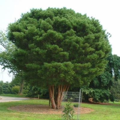 Сосна густоцветковая (Pinus densiflora Siebold et Zucc.)