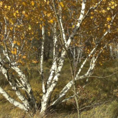 Берёза повислая ф. карельская (Betula pendula var. pendula = B. pendula var. carelica)