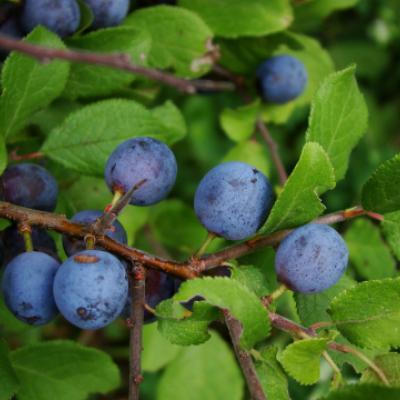 Слива колючая (Prunus spinosa).