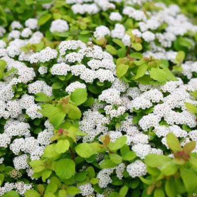 Спирея берёзолистная «Тор» (Spiraea betulifolia «Tor»).