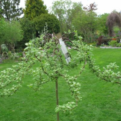 Ива козья «Курли Локc» Salix caprea «Curly Locks»
