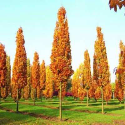Дуб черешчатый «Фастигиата Костер» (Quercus robur «Fastigiata Koster»)