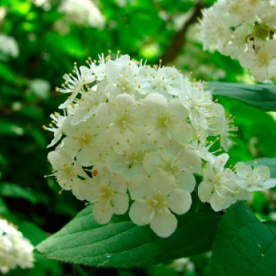 Дейция амурская (Deutzia amurensis)