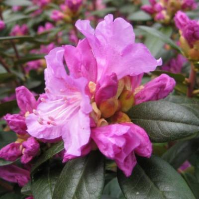Рододендрон каролинский «Элит» = «ПЖМ Элит» ( Rhododendron «Elite» = «PJM Elite»).