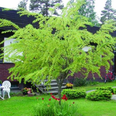 Карагана древовидная «Лорберги» = Акация желтая «Лорберги» (Caragana arborescens «Lorbergii»).