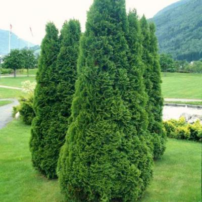 Туя западная «Холмструп» (Thuja occidentalis «Holmstrup»)