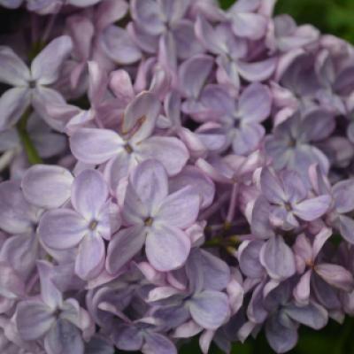 Сирень гиацинтоцветная «Пёрпл Глори» (Syringa × hyacinthiflora «Puple Glory» (в переводе с английского «Фиолетовая слава»)