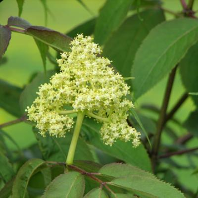 Бузина кистистая, бузина красная (Sambucus racemosa).