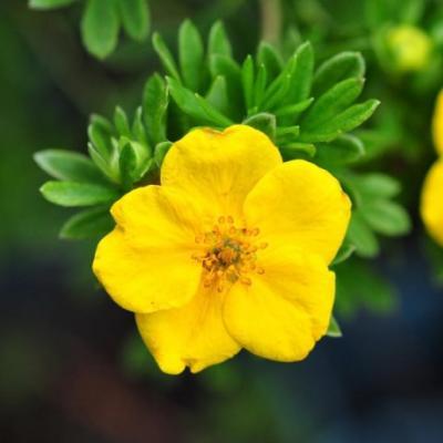 Лапчатка кустарниковая, курильский чай кустарниковый «Хакманс Гигант» (Potentilla fruticosa «Hachmanns Gigant»).