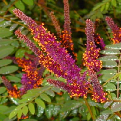 Аморфа кустарниковая (Amorpha fruticosa)
