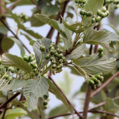 Рябина ария, мучнистая, круглолистная (Sorbus aria)