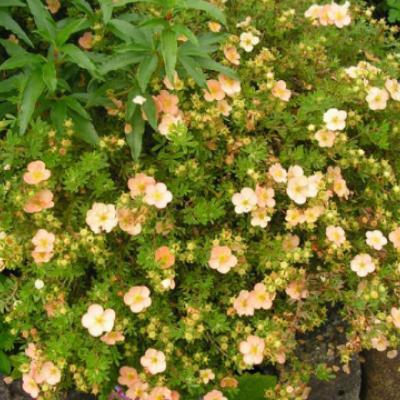 Лапчатка кустарниковая, курильский чай кустарниковый «Дейдаун» (Potentilla fruticosa «Daydawn»).