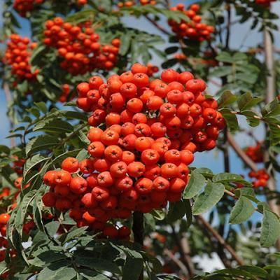 Рябина обыкновенная «Аспенифолия» (Sorbus aucuparia «Aspleniifolia»)