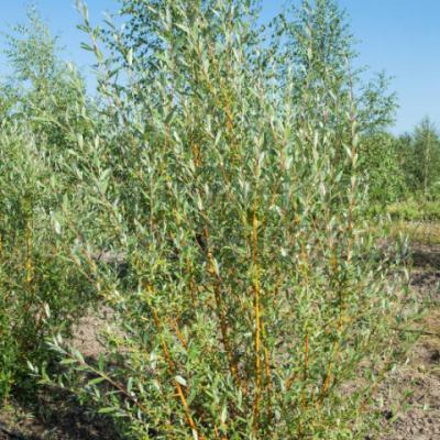 Ива «Памяти Бажова» (Salix «Pamyati Bazhova»)