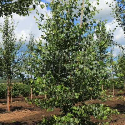 Береза пушистая (Betula pubescens)