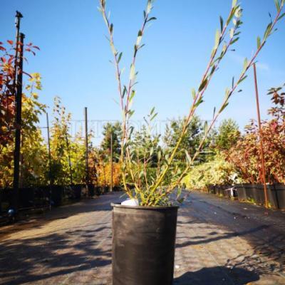 Ива «Маяк 2» = «Фейерверк» (Salix × «Majak» = «Фейерверк»)