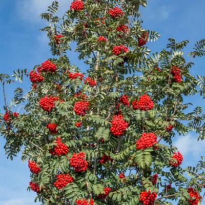 Рябина обыкновенная «Шиервотер Сидлинг» (Sorbus aucuparia «Sheerwater Seedling»).